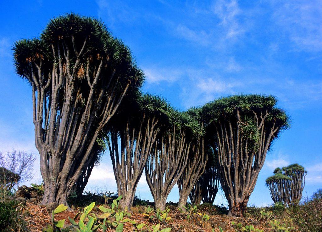 Drakenboom La Palma