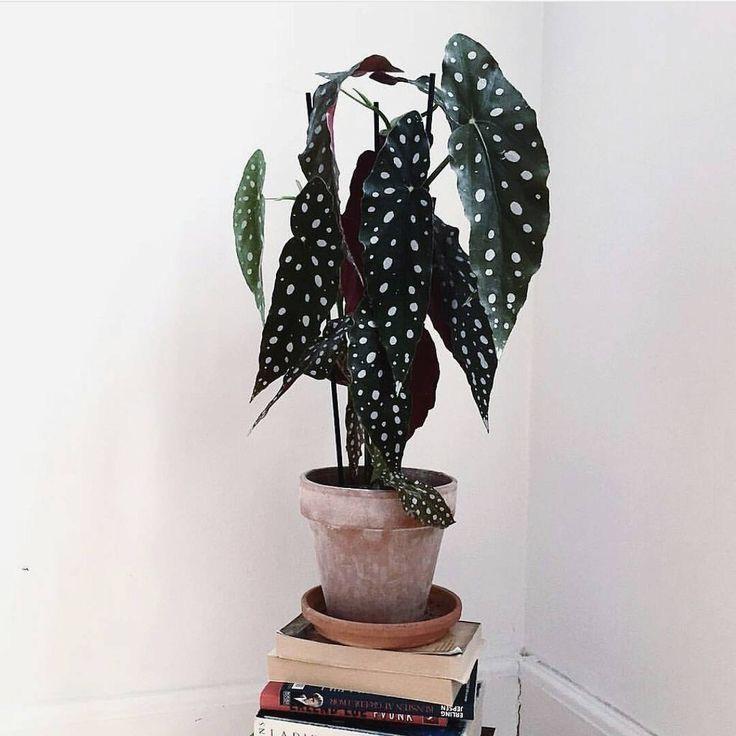 Polkadot Begonia verzorgingstips