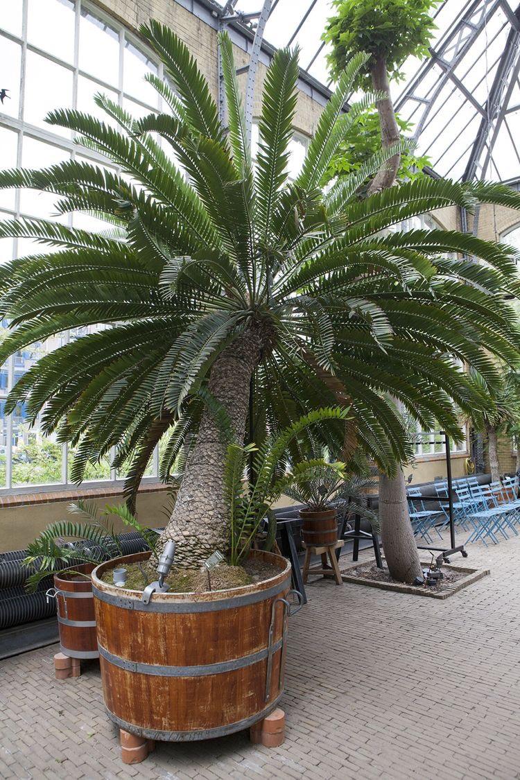 Mexicaanse palmvaren