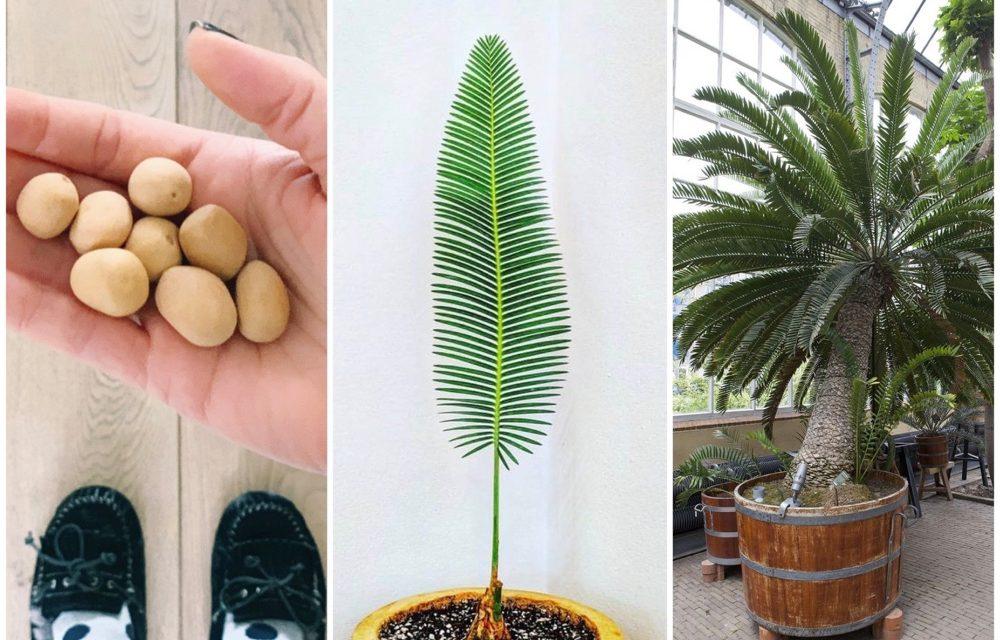 Zaaitips voor de Mexicaanse palmvaren (alias de Dioon Edule)