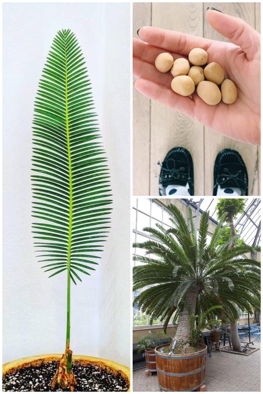 zaaitips Dioon Edule   Mexicaanse Palmvaren