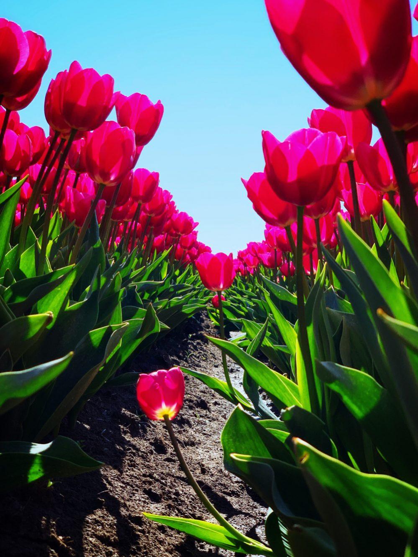 tulpenbollenvelden