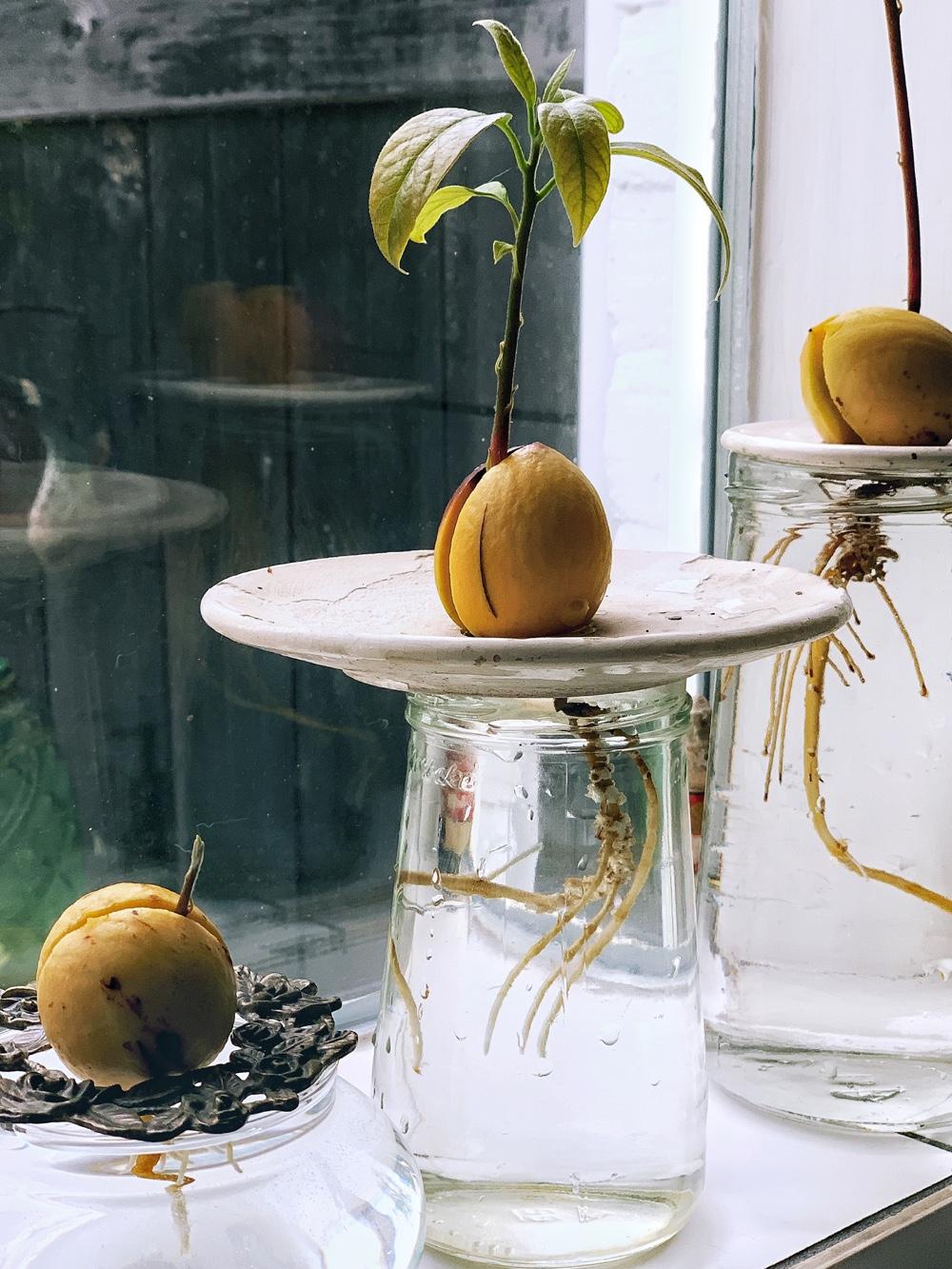 avocadopit ontkiemen