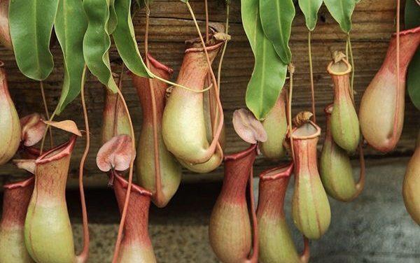 Verzorgingstips voor de bekerplant (ook wel de Monkey Jar)