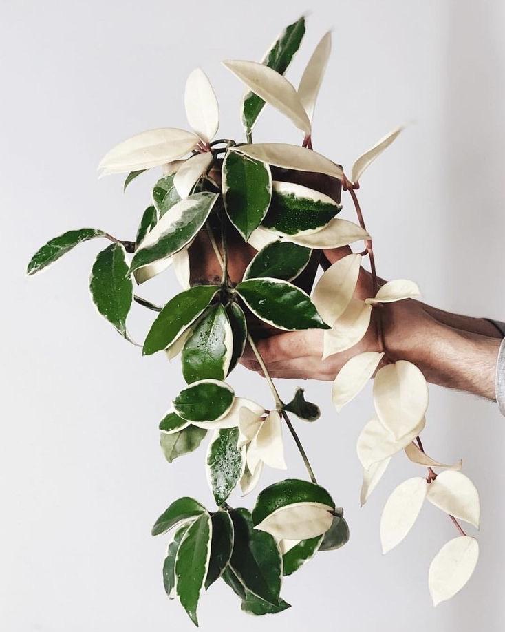 verzorgingstips voor de Hoya Carnosa Tricolor